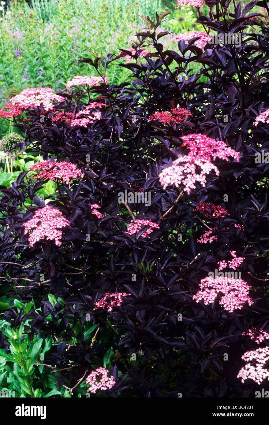 Sambucus nigra black beauty garden plant pink flower flowers black sambucus nigra black beauty garden plant pink flower flowers black dark leaf leaves foliage mightylinksfo