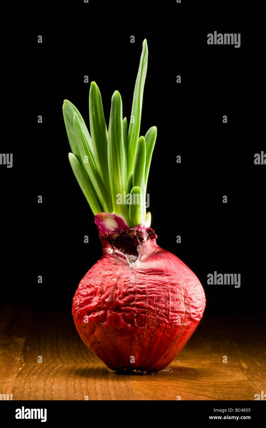 Onion bulb - red and fresh - Stock Image