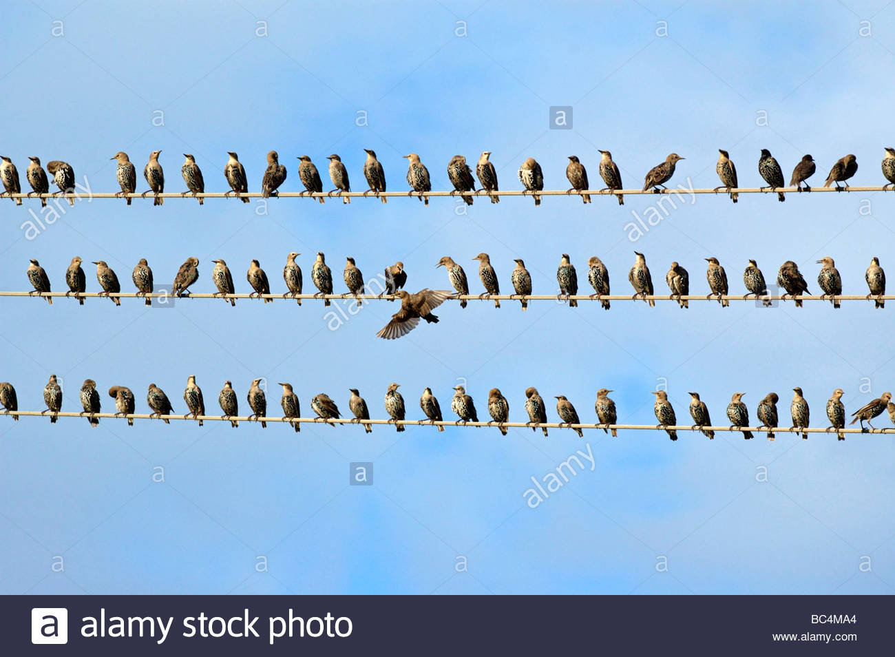 Migration Birds Power Lines Stock Photos & Migration Birds Power ...