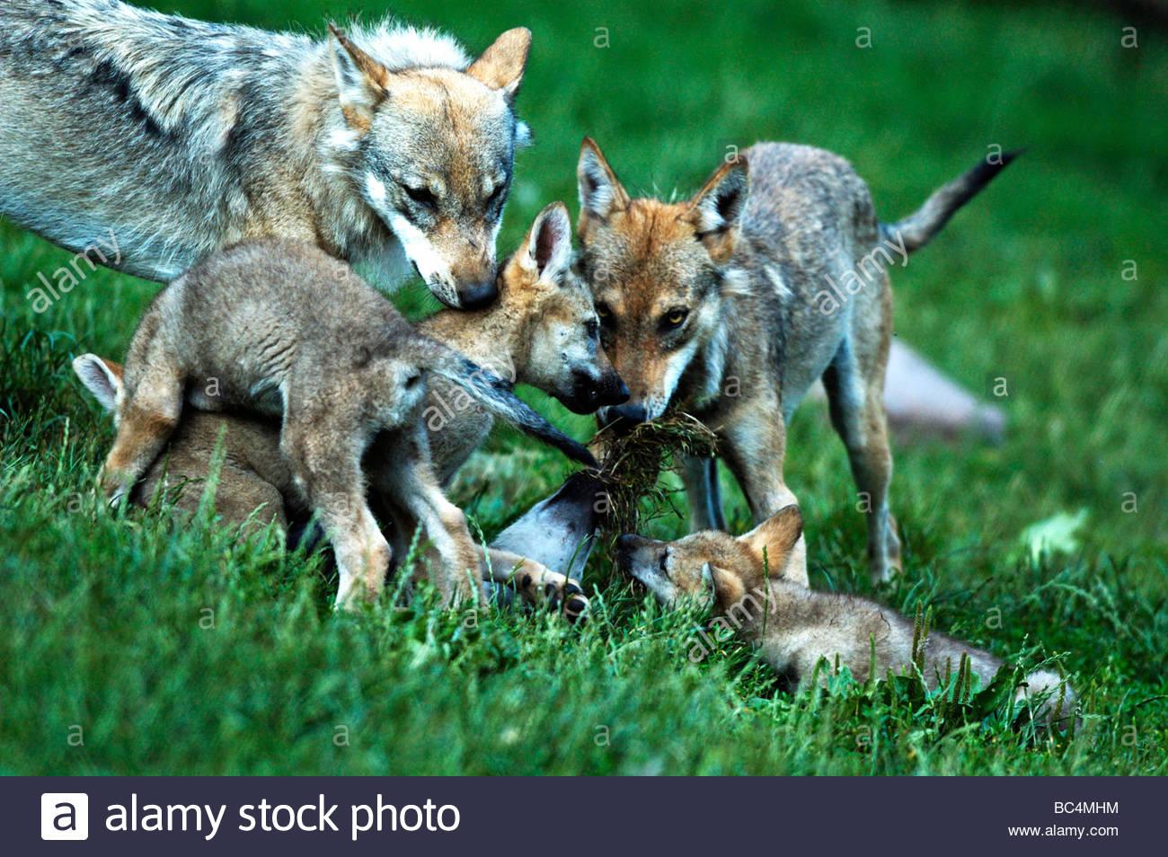 Mackenzie valley wolf - photo#48