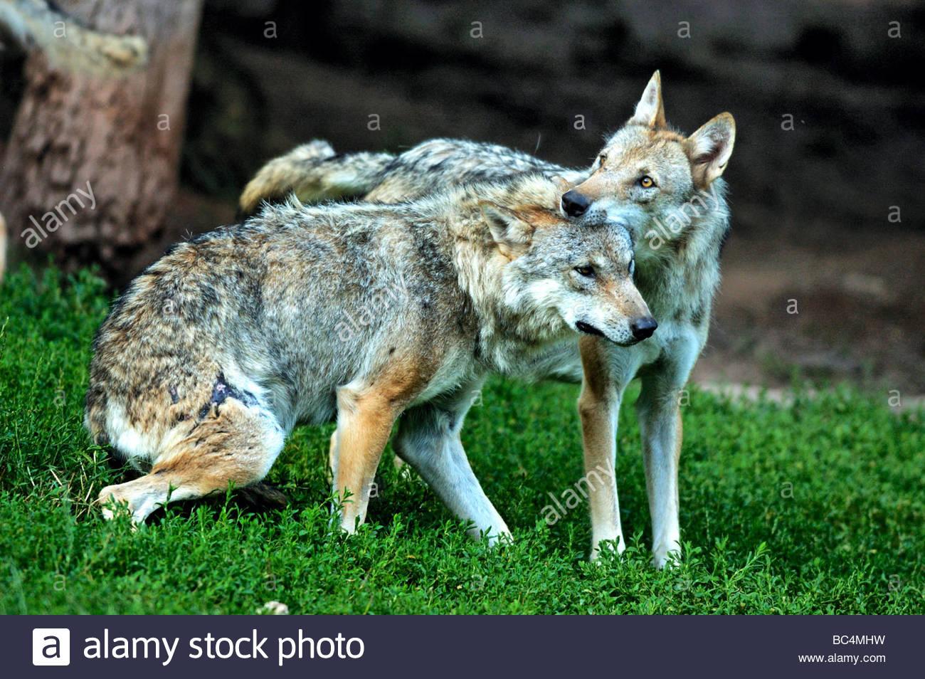 Mackenzie valley wolf - photo#51