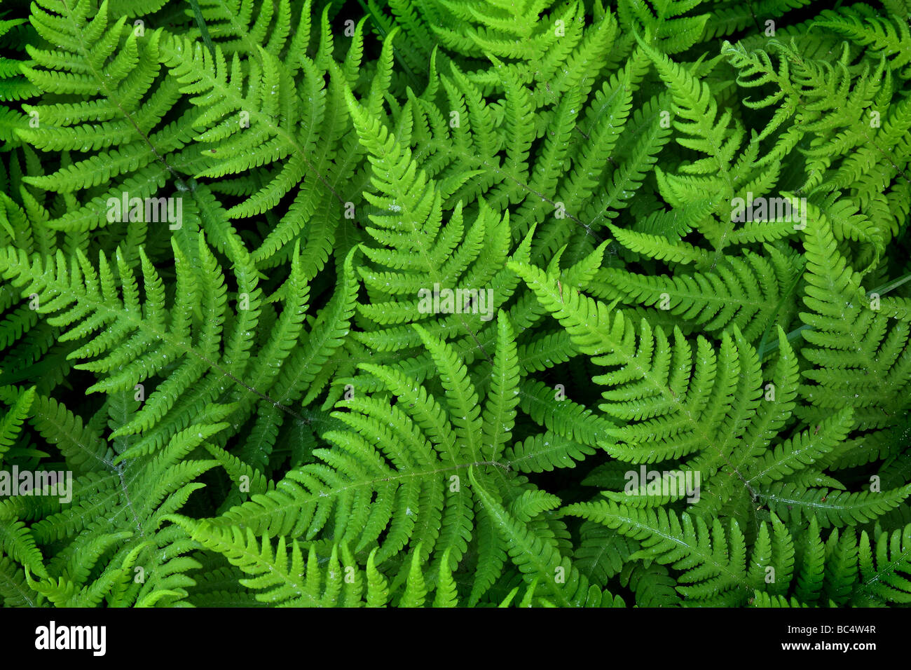 Ferns in a forest near the lake Vansjø in southeastern Norway - Stock Image