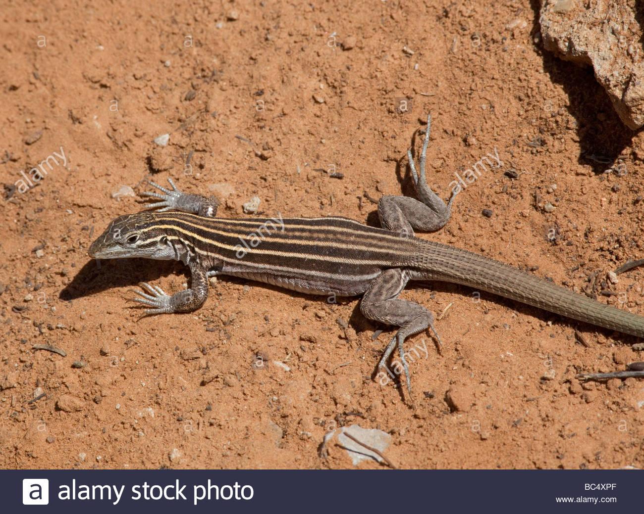 Plateau Striped Whiptail Lizard Aspidoscelis velox Stock Photo