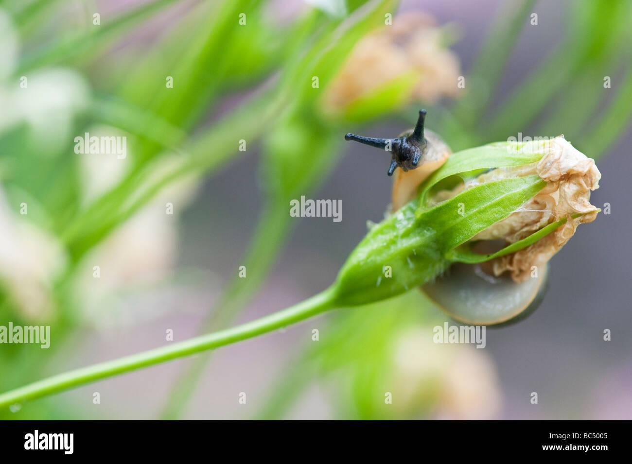 Arion hortensis. Garden slug on a dead campanula flower in an english garden - Stock Image