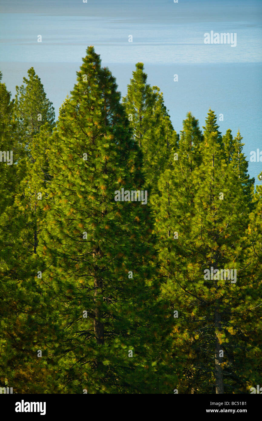 Dense pine trees with water in background Stock Photo