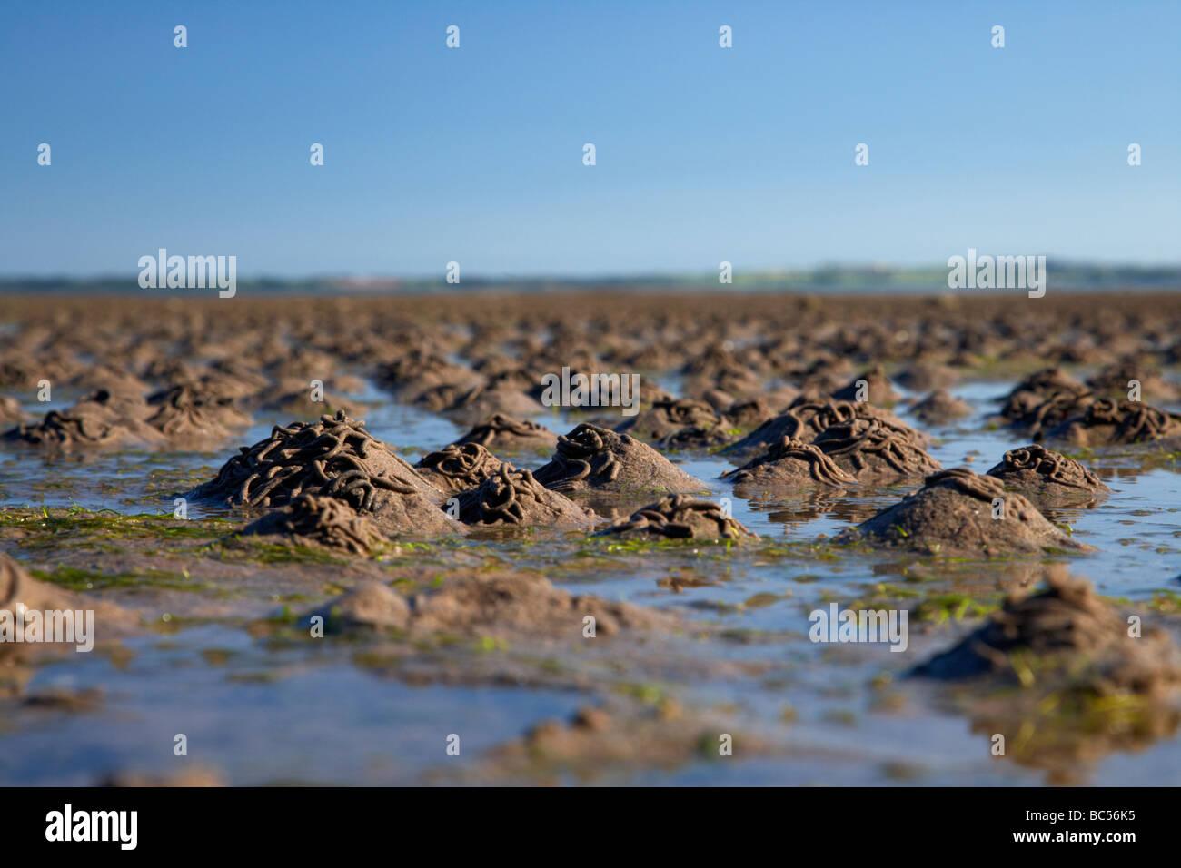 lugworm arenicola marina casts on mudflats in strangford lough county down northern ireland uk - Stock Image