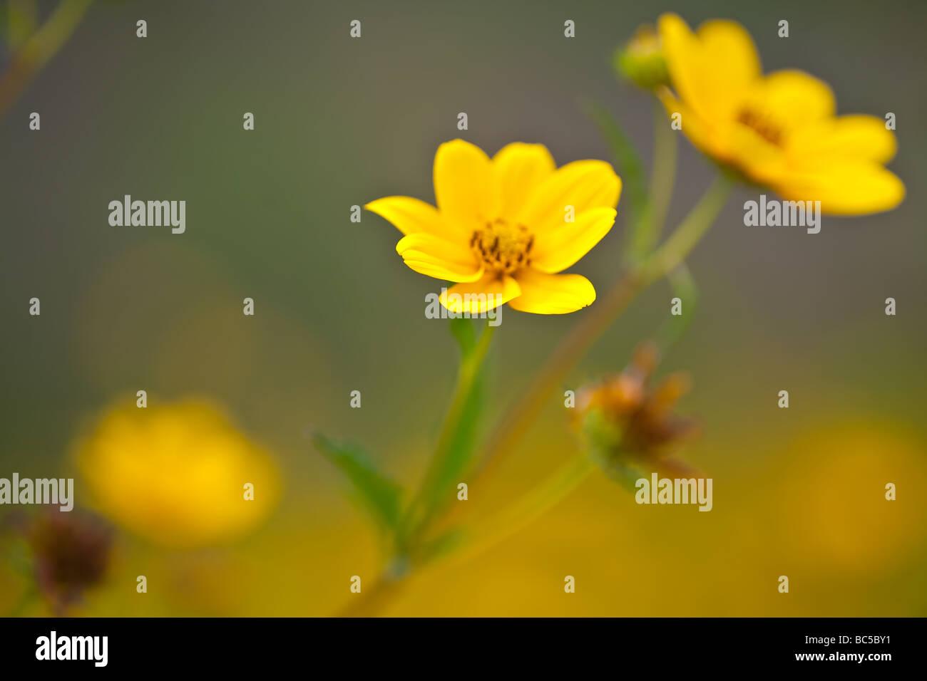 Bidens Aristosa - Stock Image