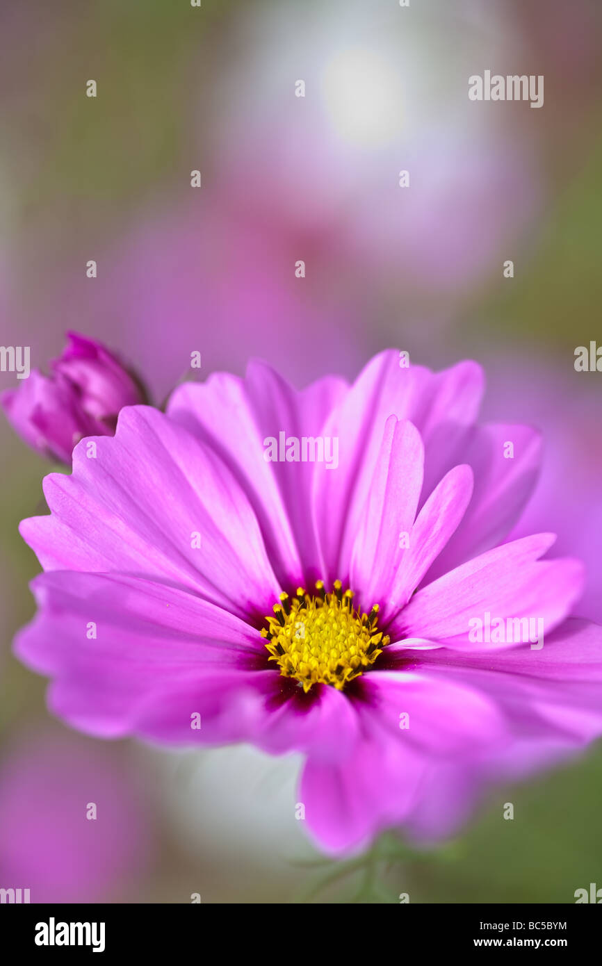 The radiance cosmos is a cultivated member of the Aster family.  It has large 2-2.5' blooms of varying color. - Stock Image