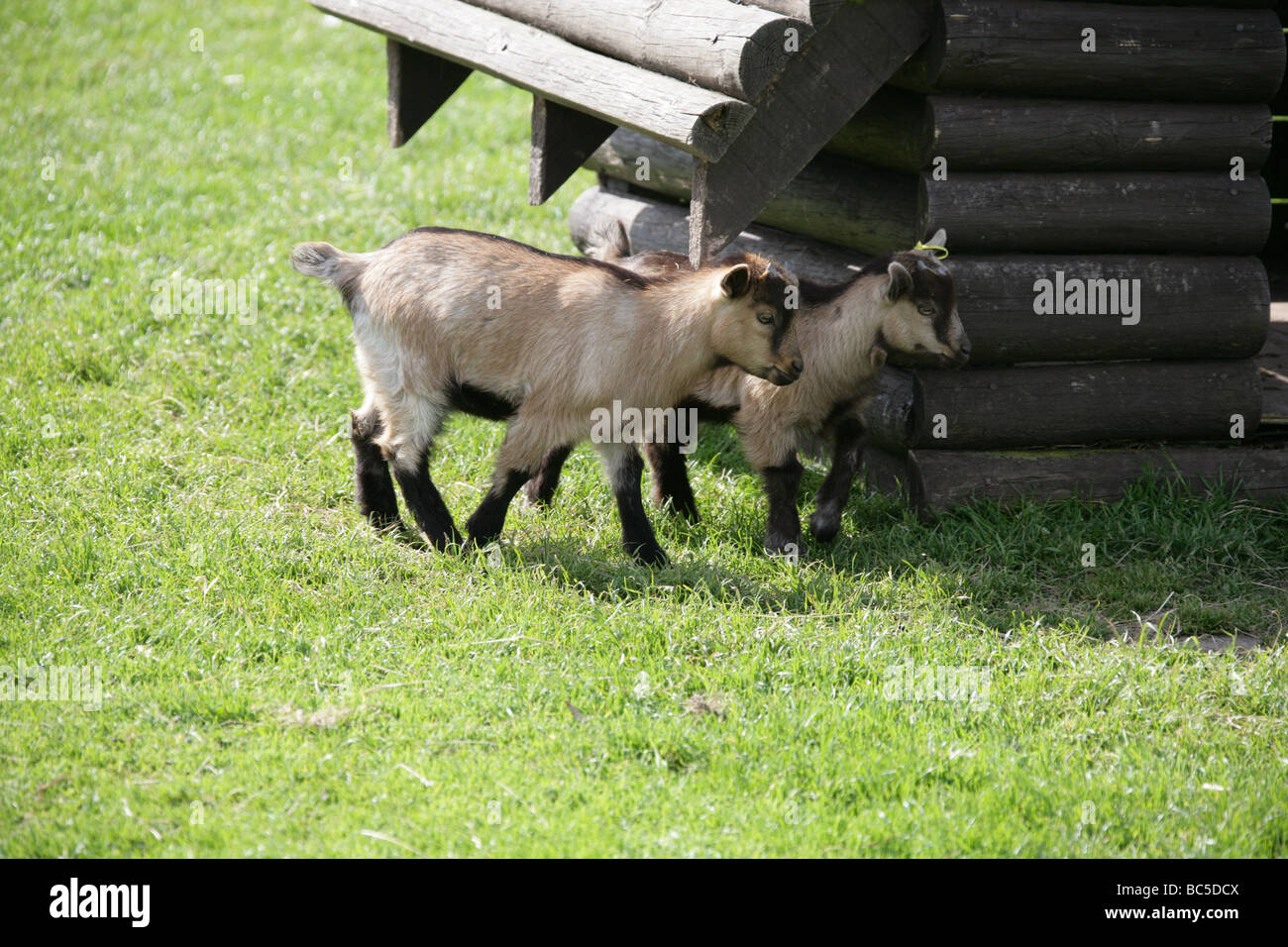 Two Young Domesticated Goat Kids, Capra aegagrus hircus, Bovidae - Stock Image