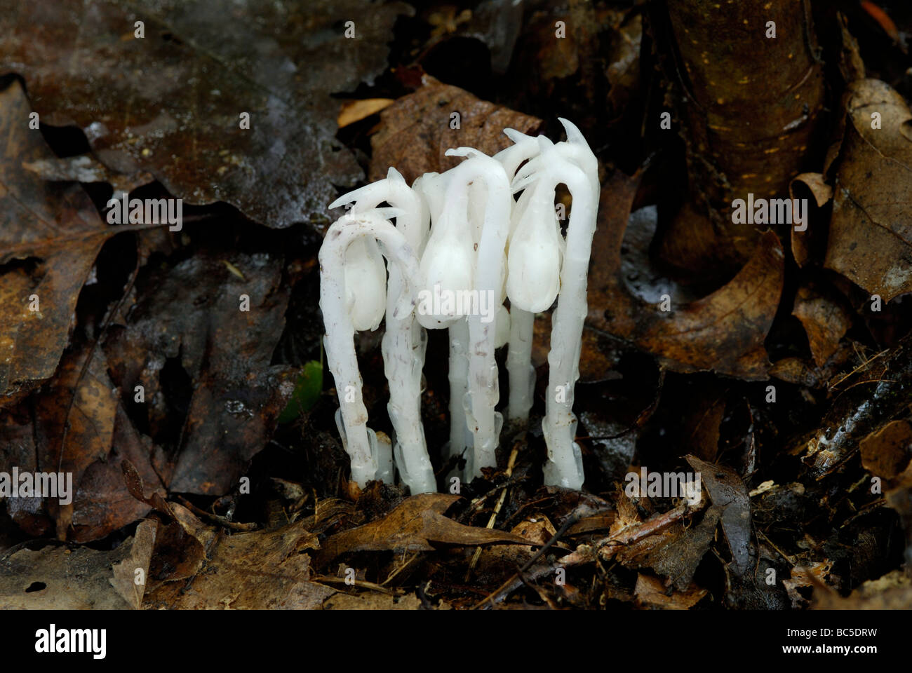 Indian pipe, Monotropa uniflora, an unusual non-photosynthetic, parasitic flowering plant. - Stock Image