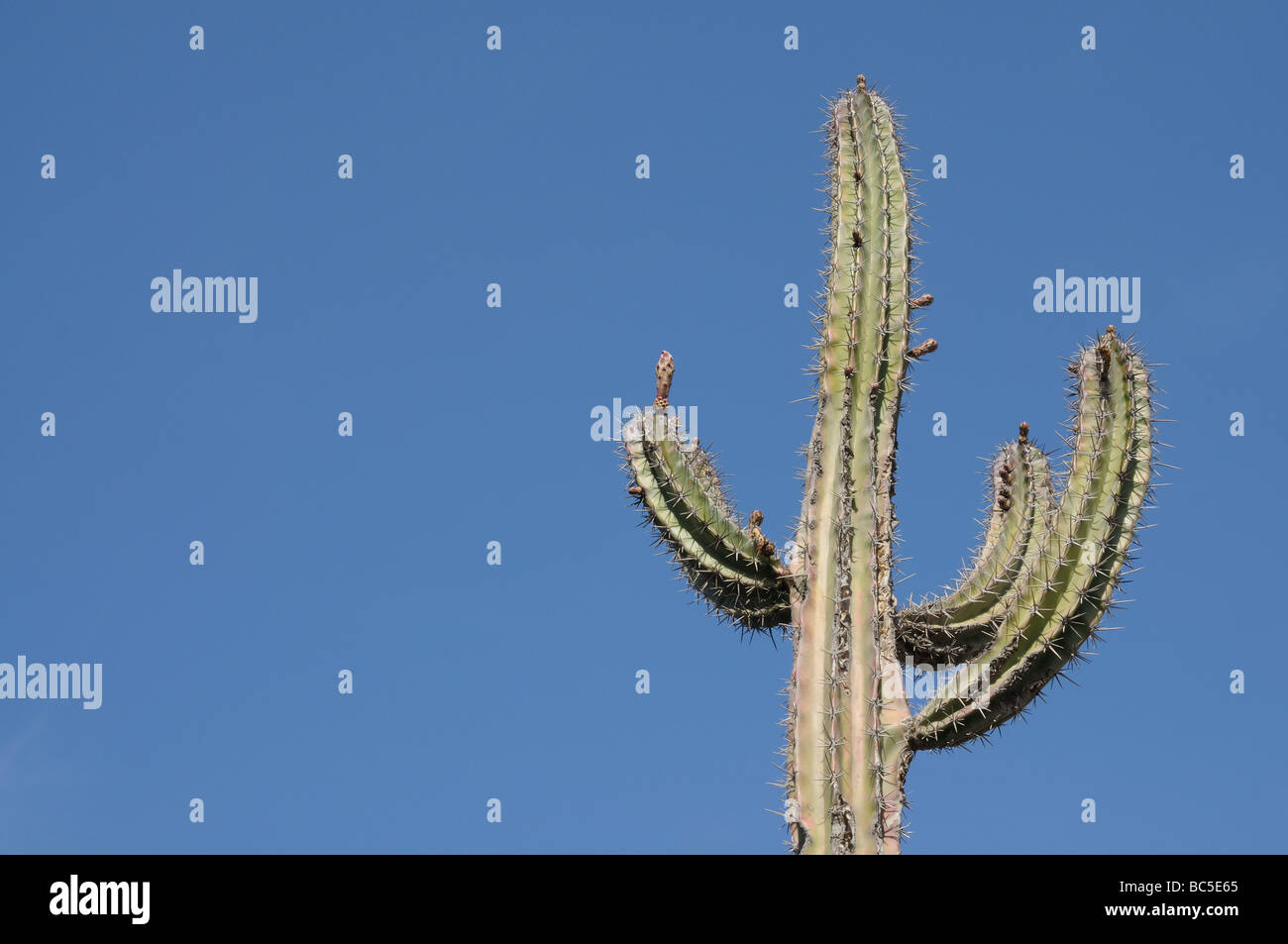 Giant cactus in the desert against a blue sky - Stock Image