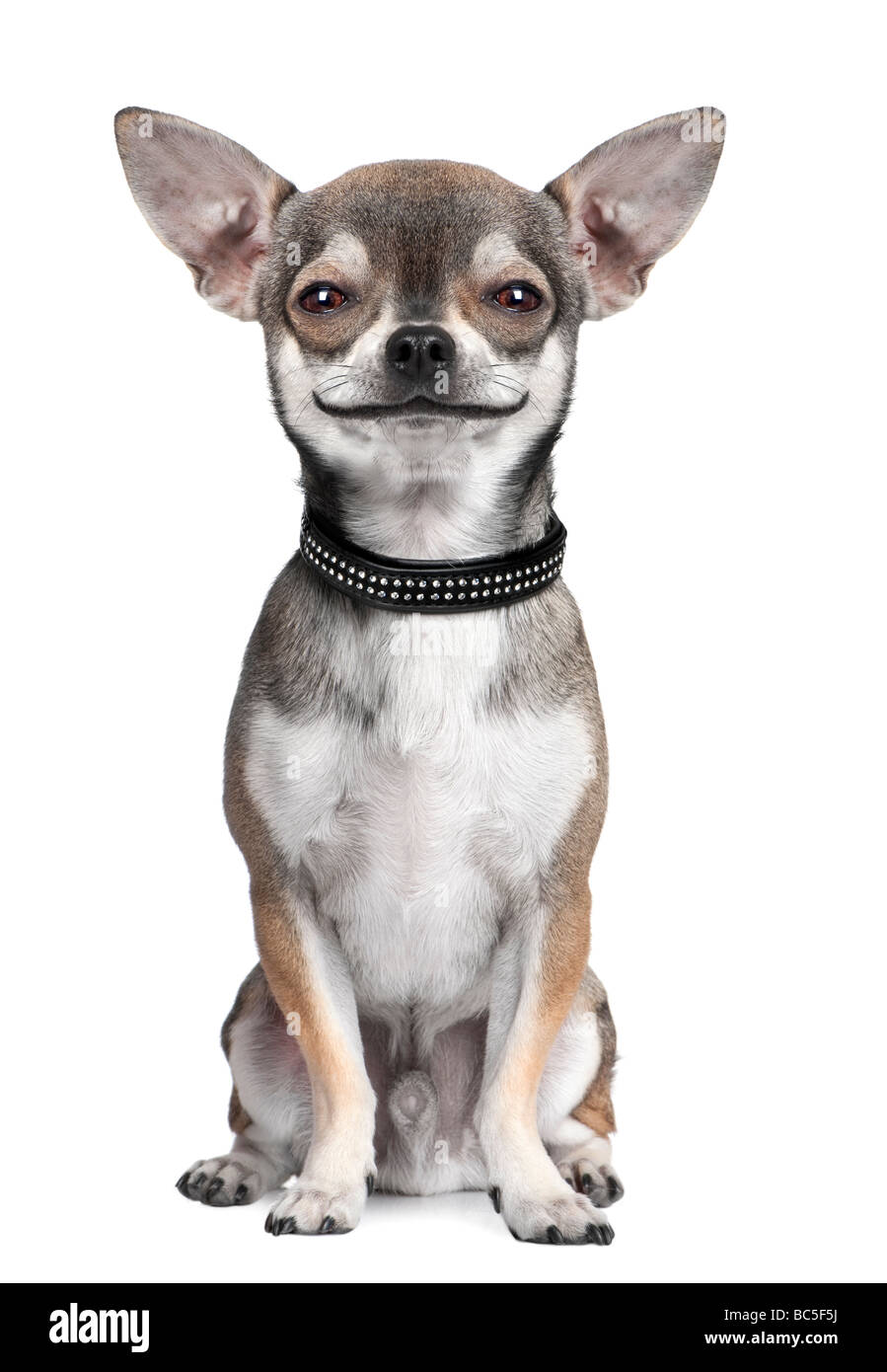 dog chihuahua looking at the camera smiling in front of a white background Digital enhancement - Stock Image