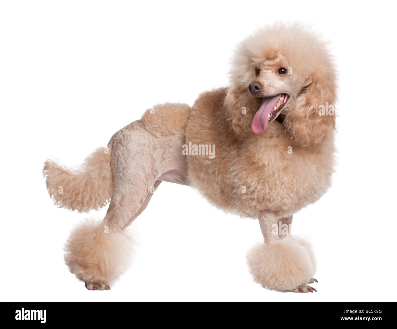 groomed apricot poodle 2 years old in front of awhite background - Stock Image