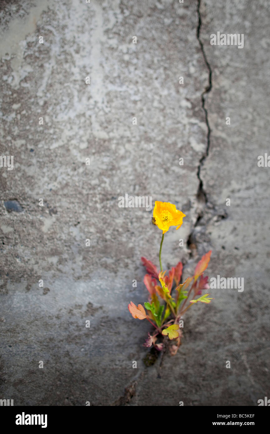 A flower clings to a crack in a wall. - Stock Image