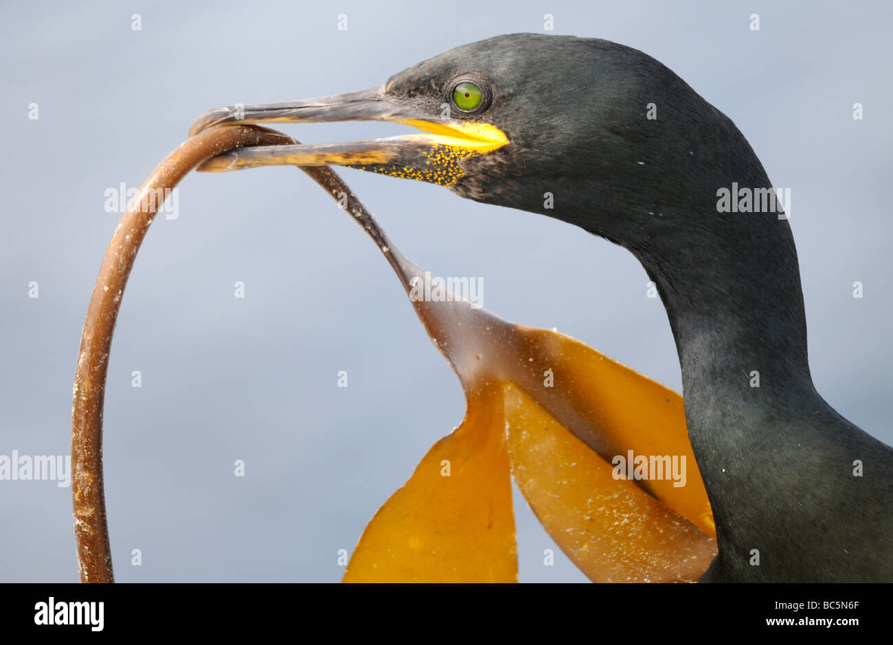 A Shag (Phalacrocorax aristotelis) brings a frond of kelp for its mate to add to their nest. - Stock Image