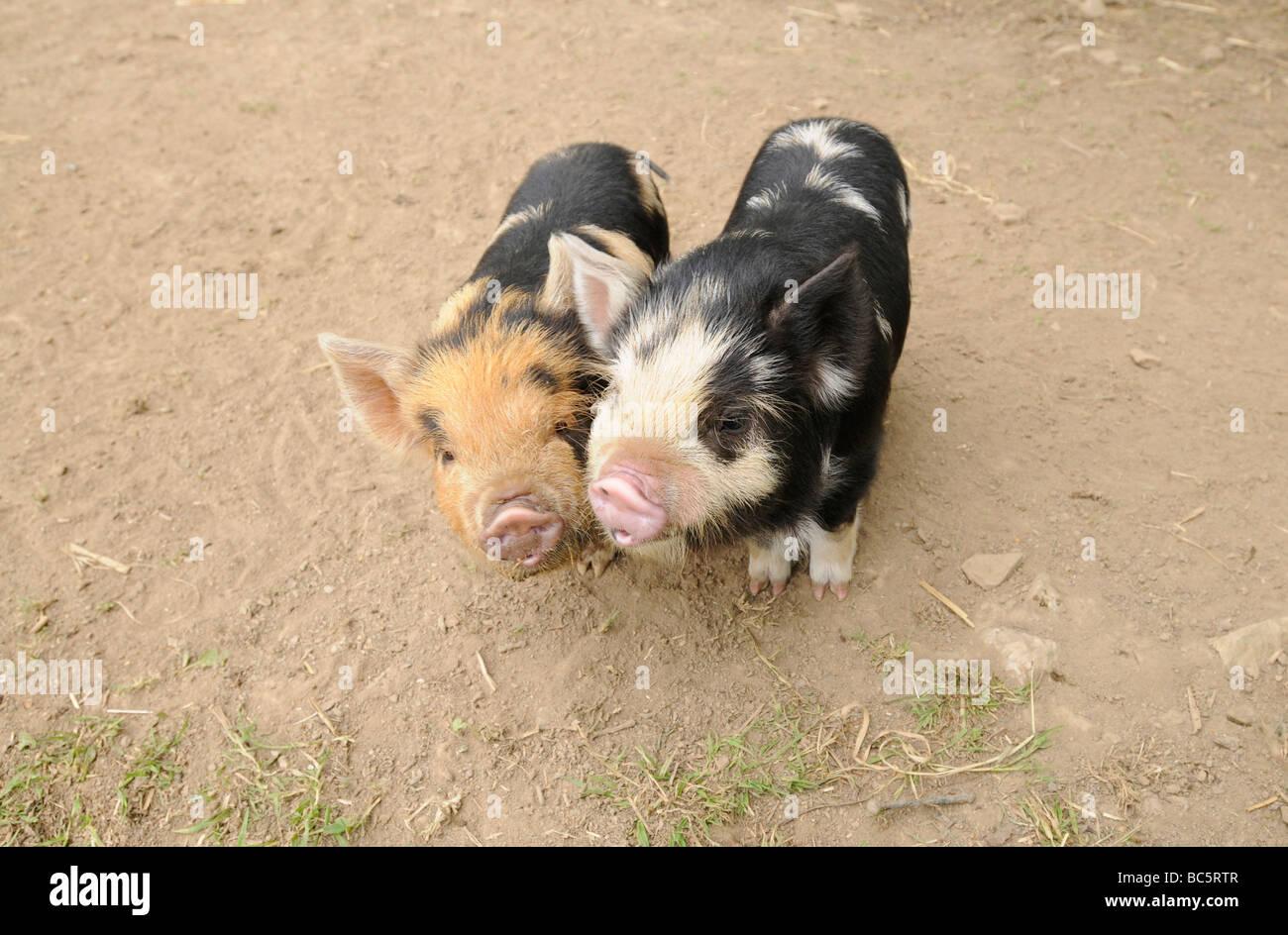 Kune Kune piglets on a Cornish farm - Stock Image