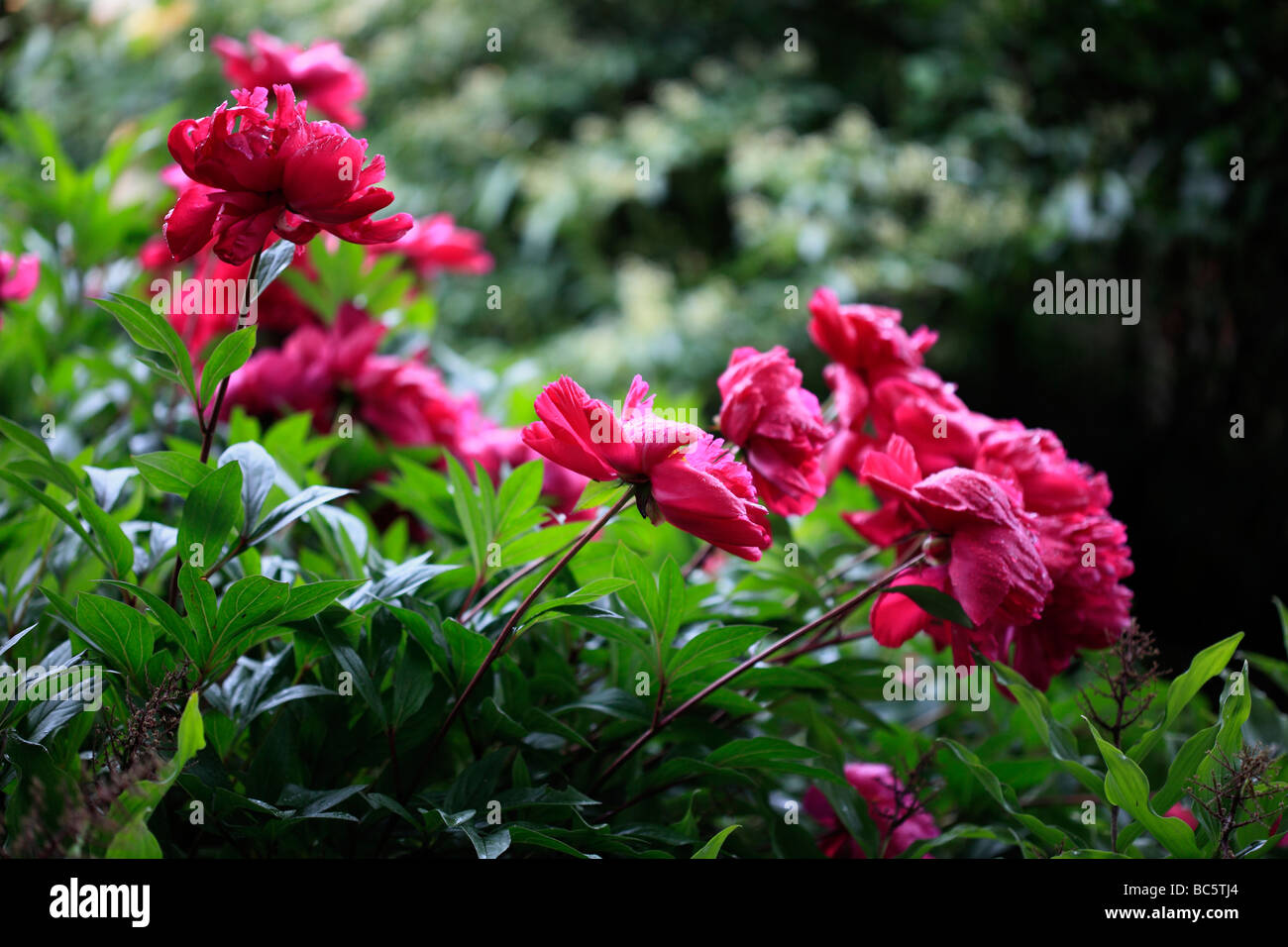 Peonies - after the rain - Stock Image