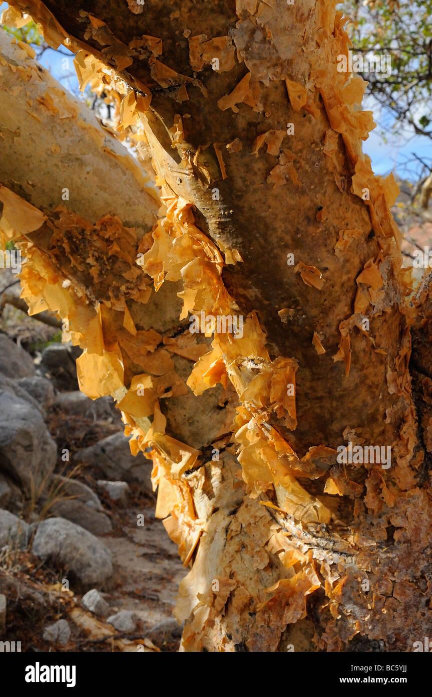 Elephant Tree Bursera microphyla close up of flaking bark Baja Mexico - Stock Image