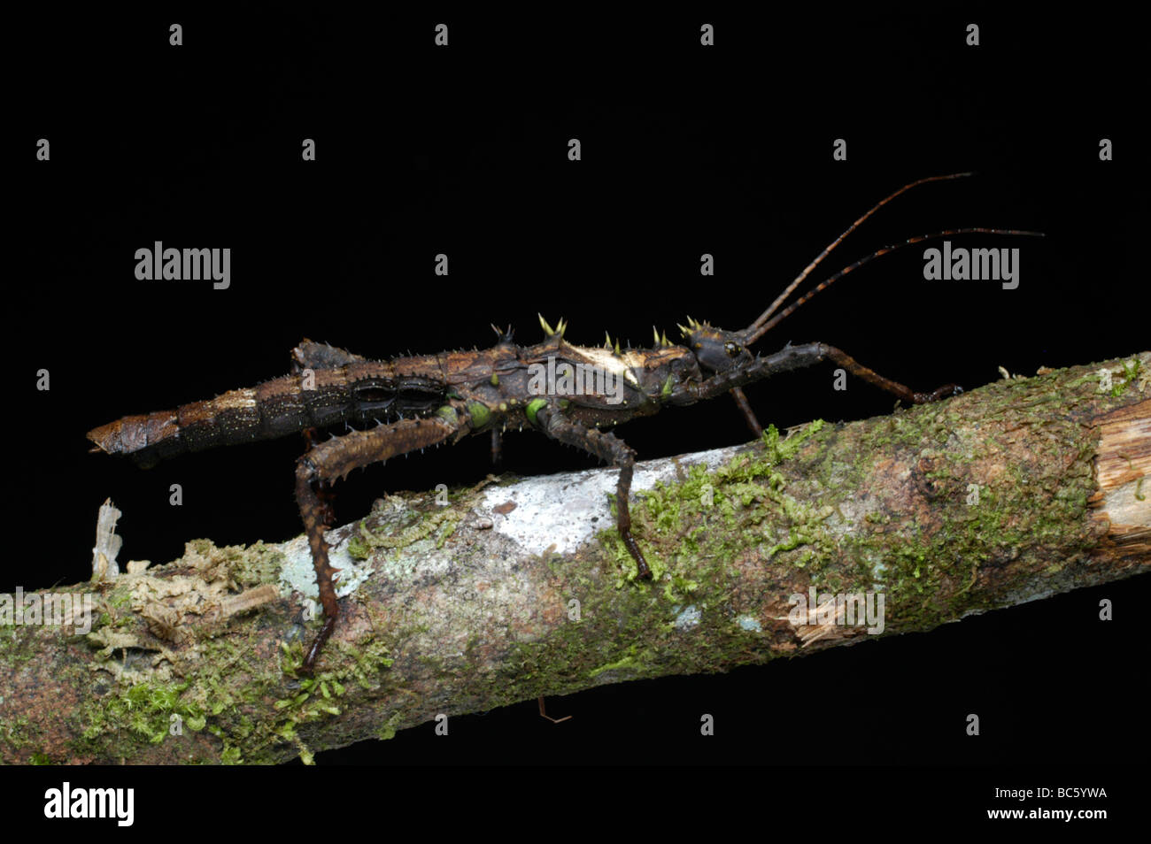 Stick Insect climbing a branch - Stock Image