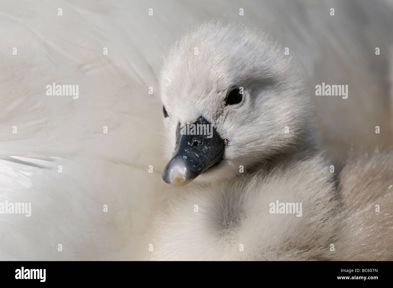 Mute Swan Cygnus olor close up of cygnet Abbotsbury UK Stock Photo