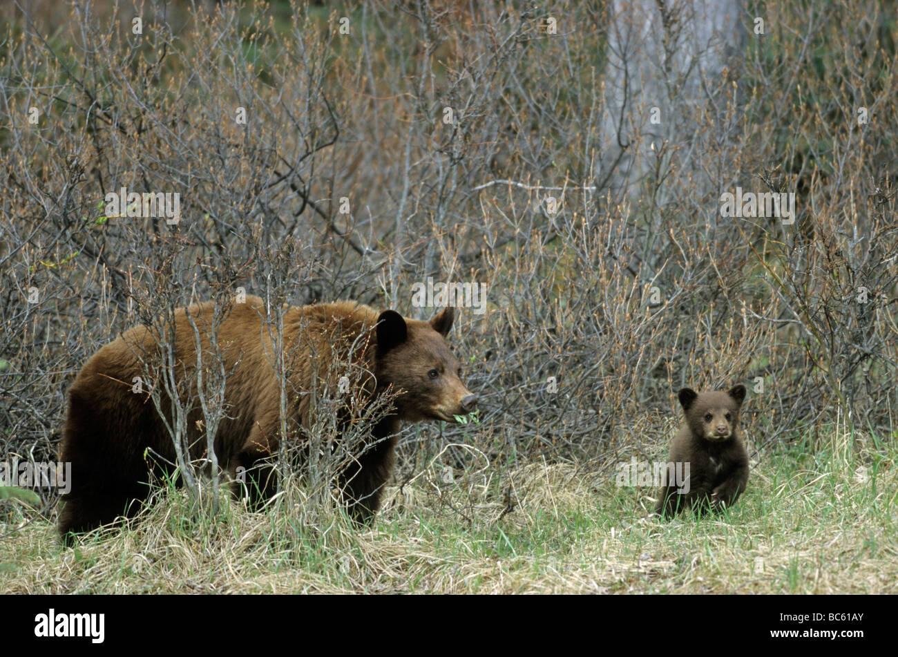 Black bear (Ursus Americanus) standing with cub in forest, Jasper National Park, Alberta, Canada Stock Photo