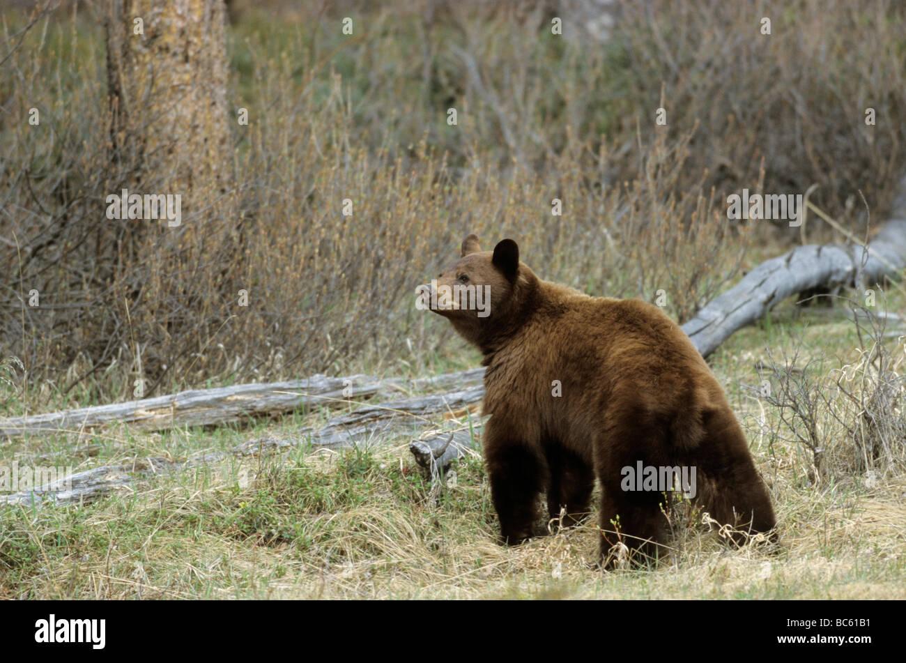 Black bear (Ursus Americanus) standing in forest, Jasper National Park, Alberta, Canada Stock Photo