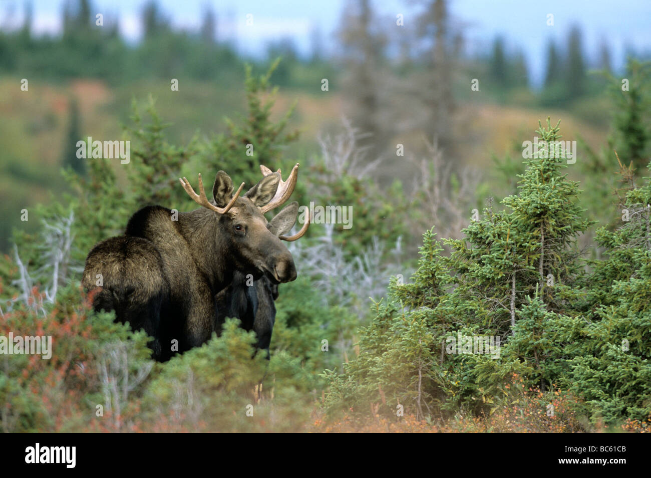 European elk (Alces alces) standing in forest, Chugach State Park, Alaska, USA Stock Photo