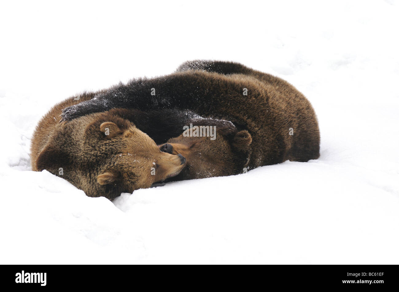 Two Brown bears (Ursus arctos) playing in snow, Bavarian Forest National Park, Bavaria, Germany - Stock Image