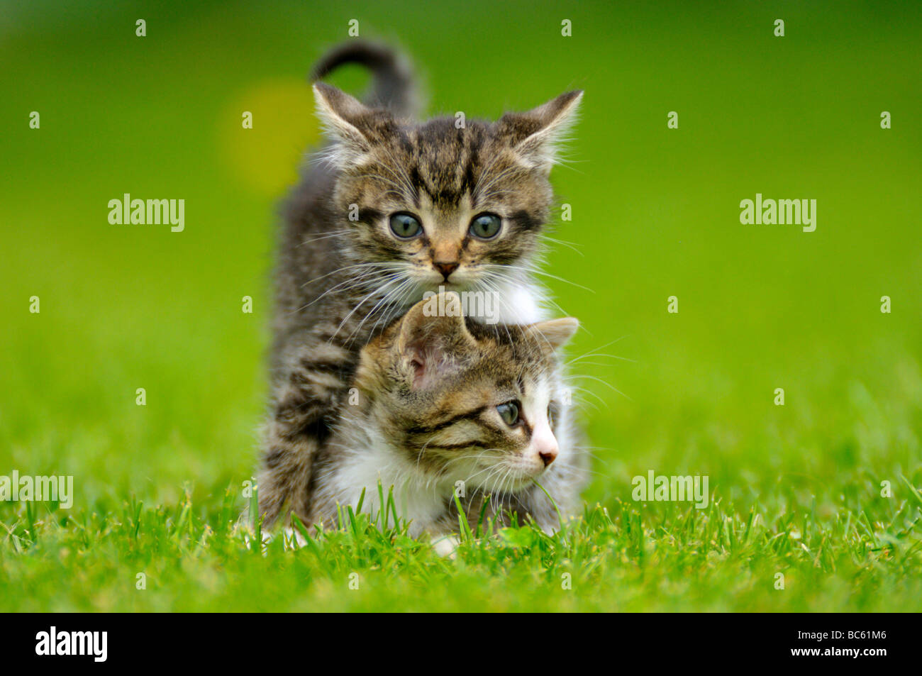 Close-up of two kittens in field, Bavaria, Germany Stock Photo