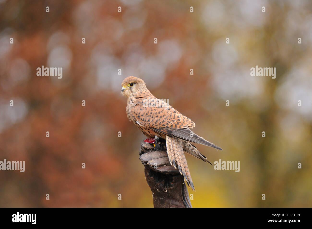 Common Kestrel (Falco tinnunculus) perching on tree stump, Bavaria, Germany - Stock Image