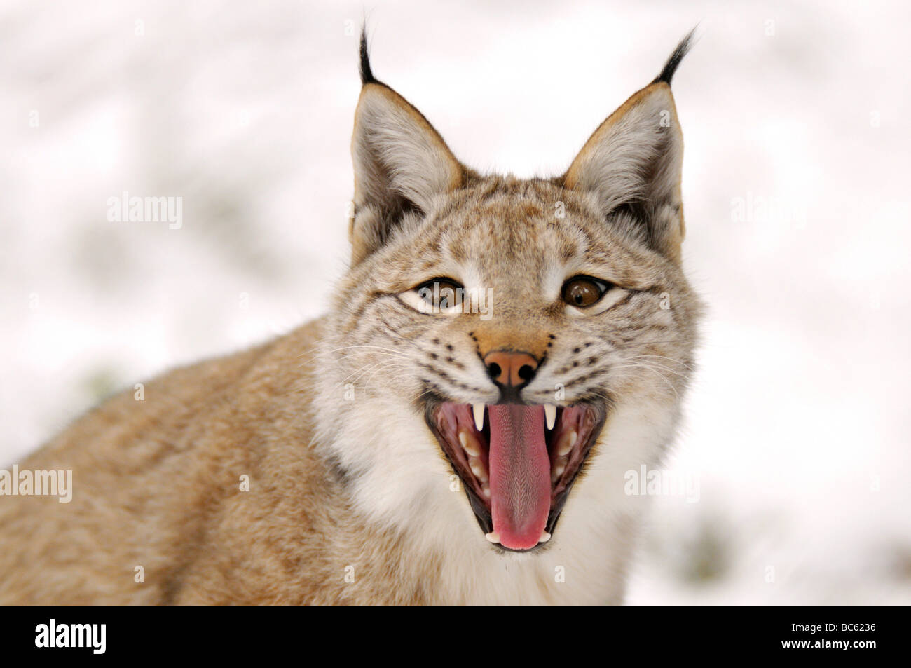 Close-up of lynx snarling in forest - Stock Image