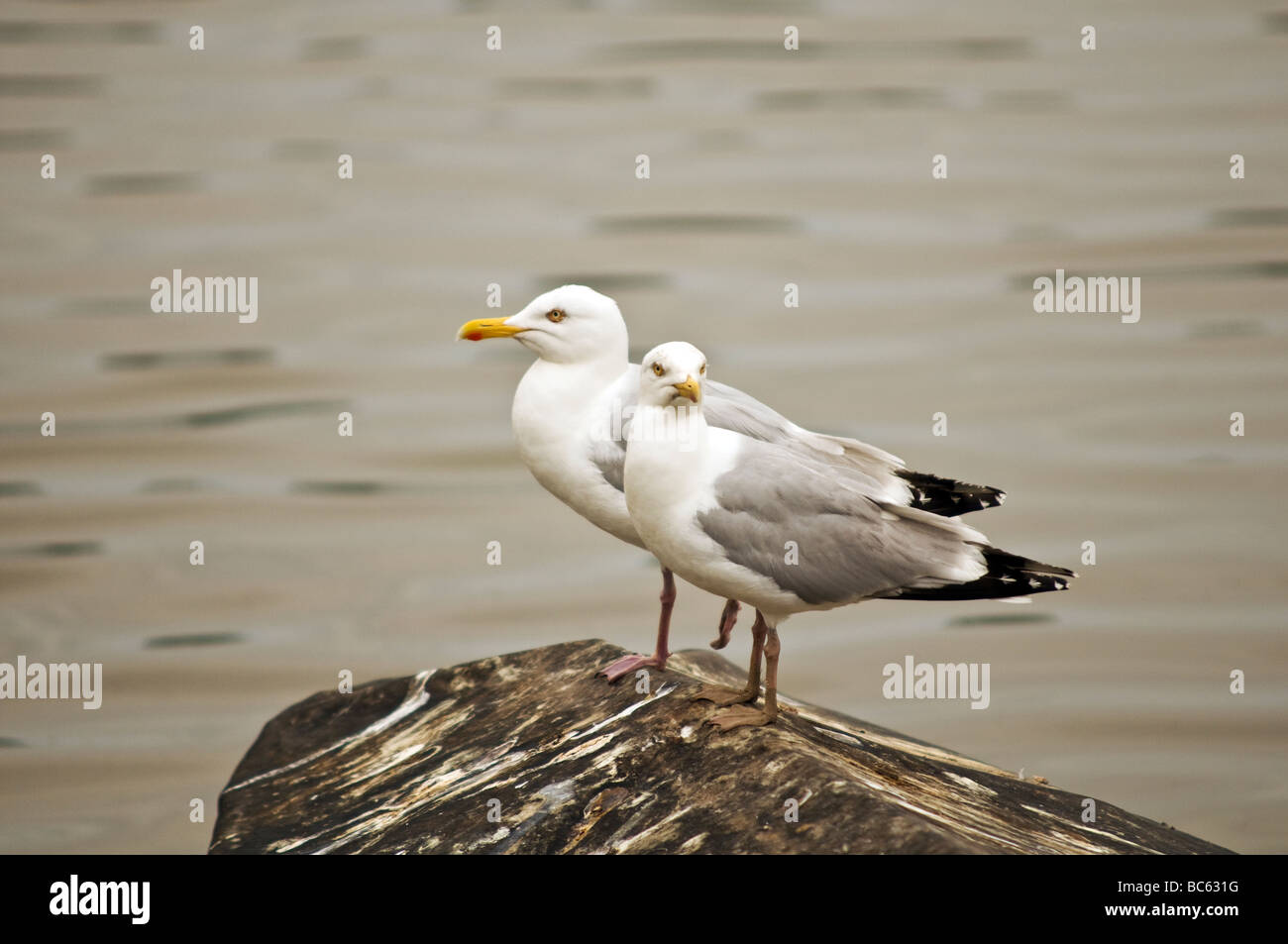Two Herring Gulls standing on a boat with a dirty tarpaulin cover at Stoke Gabriel Devon - Stock Image