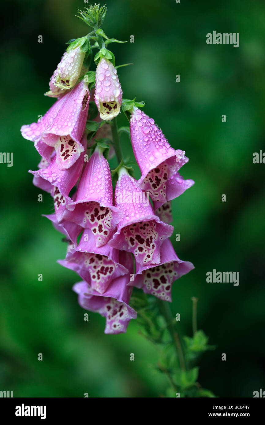 After the rain - Foxgloves - Stock Image