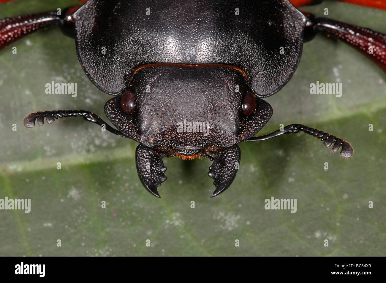 Head of a Beetle with its manibles open - Stock Image