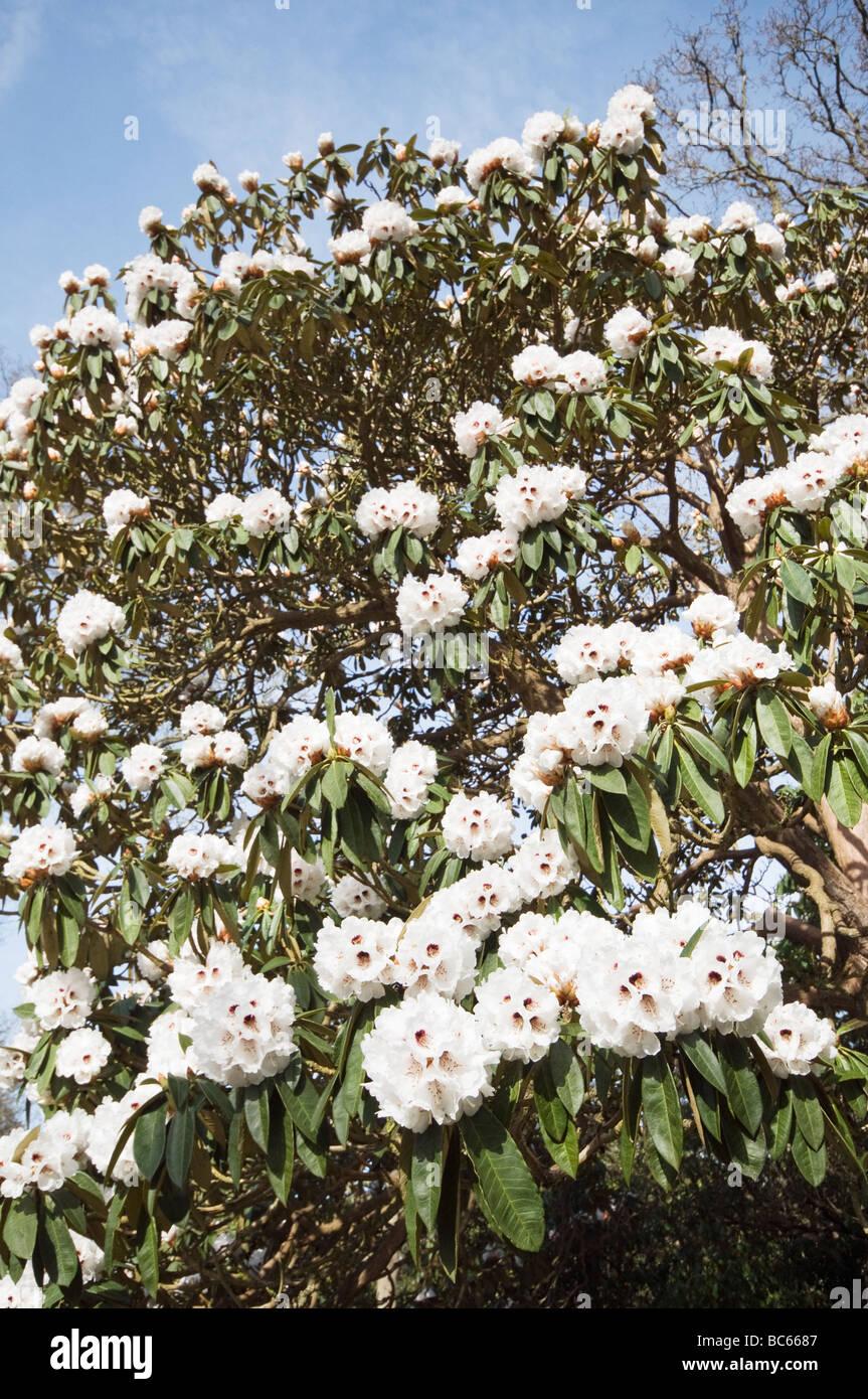 Rhododendron arboreum x calophytum - Stock Image