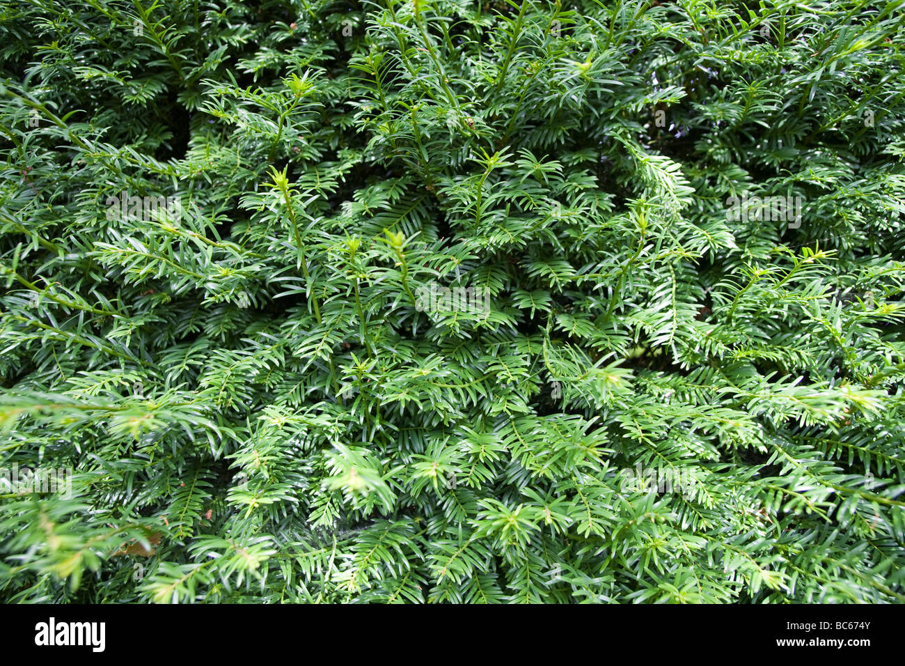Close up of yew hedge showing only leaves - Stock Image