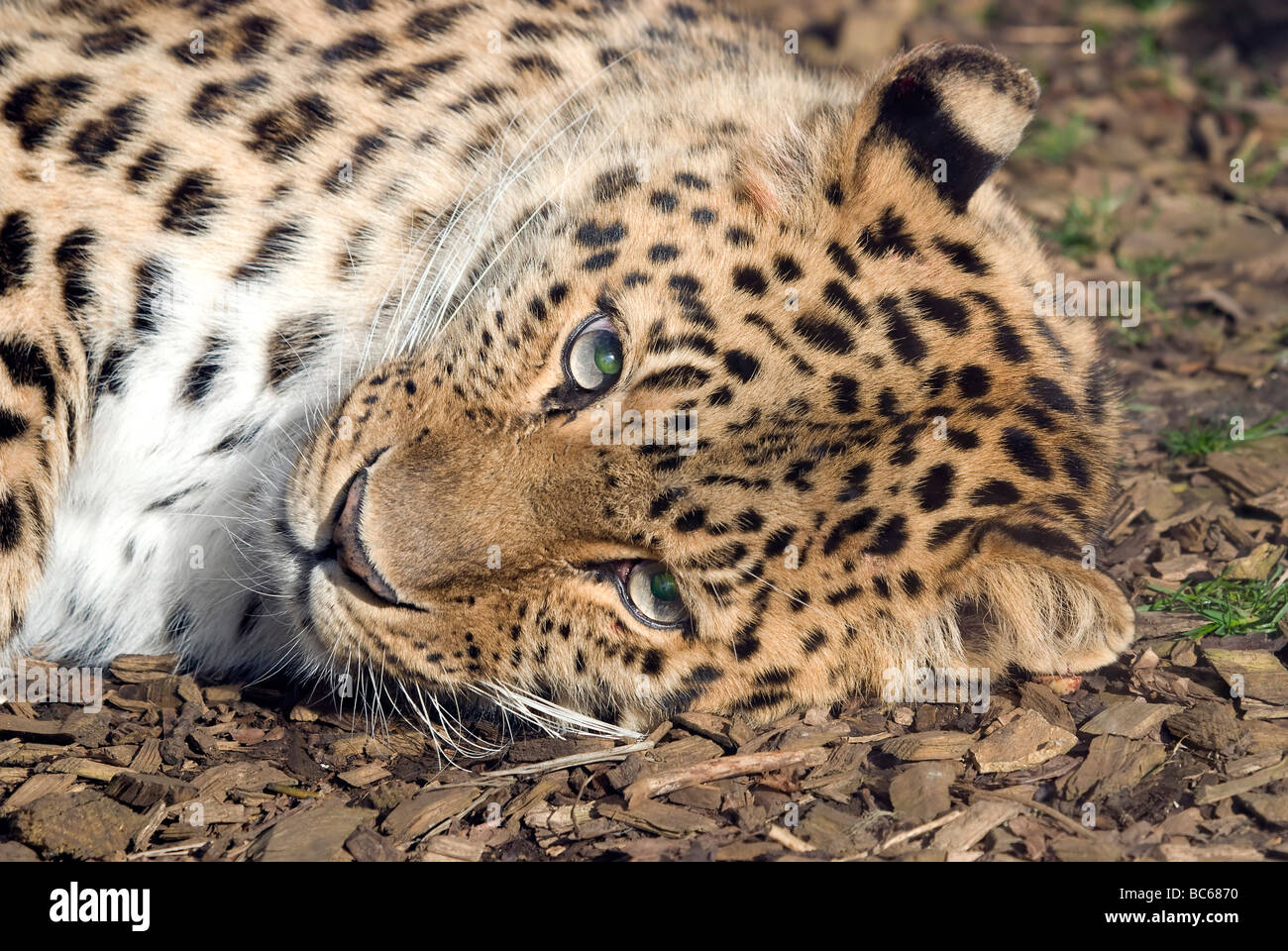 A Shy Looking Amur Leopard - Panthera pardus orientalis - Stock Image