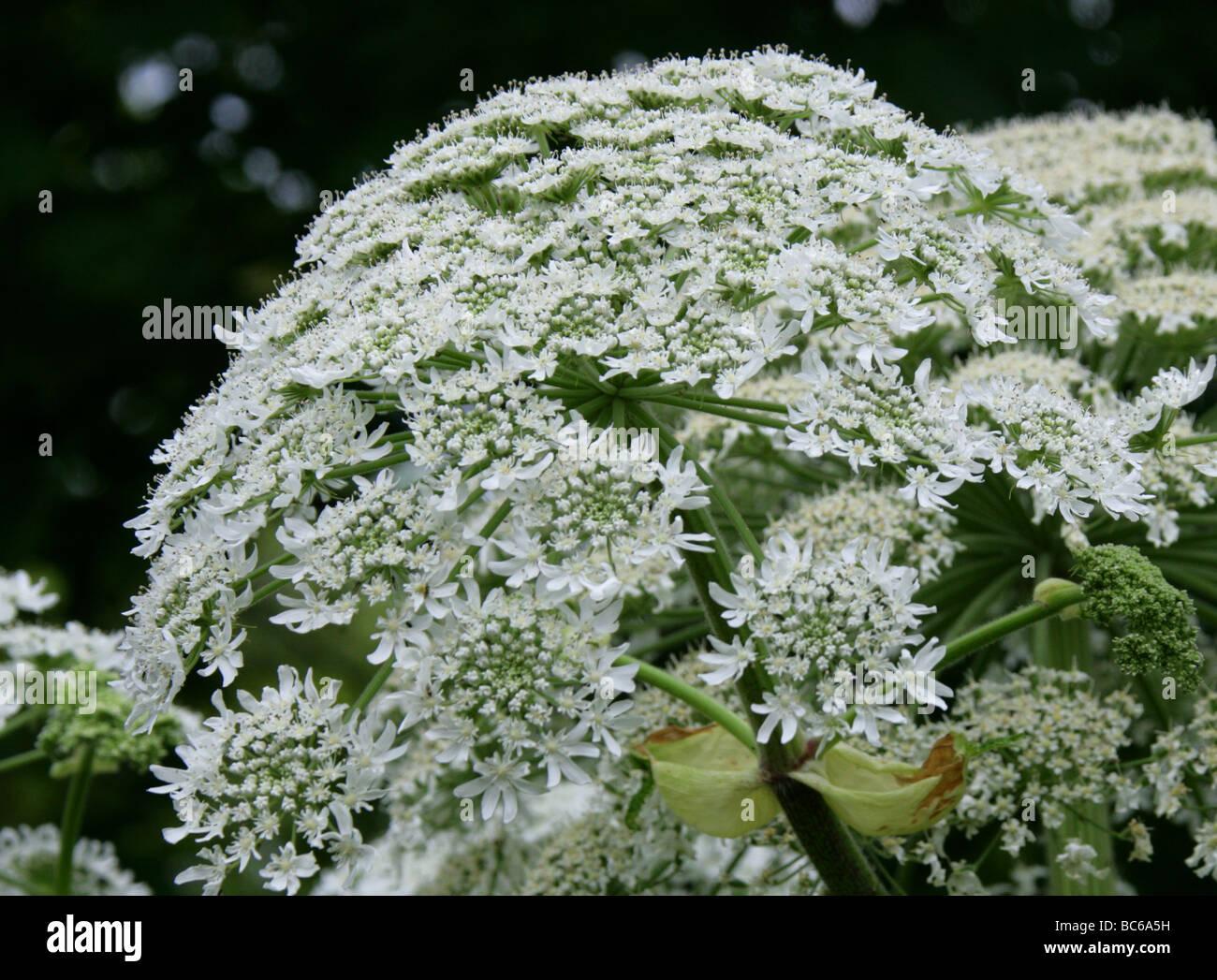 Giant Hogweed or Giant Cow-parsley, Heracleum mantegazzianum, Apiaceae Stock Photo