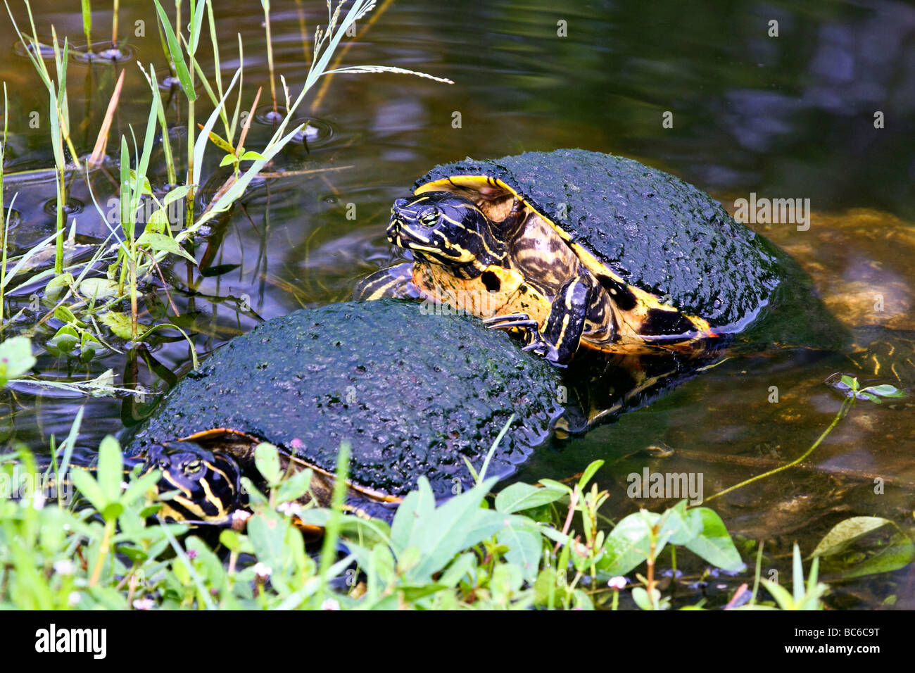 Florida Redbelly Turtle mounting another Stock Photo