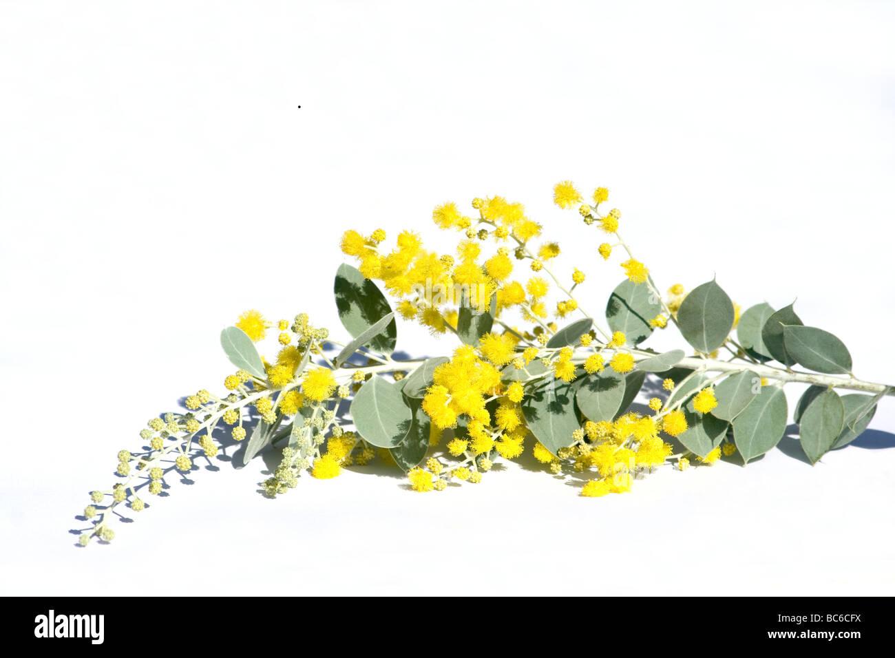 Acacia flowers close-up on white background - Stock Image