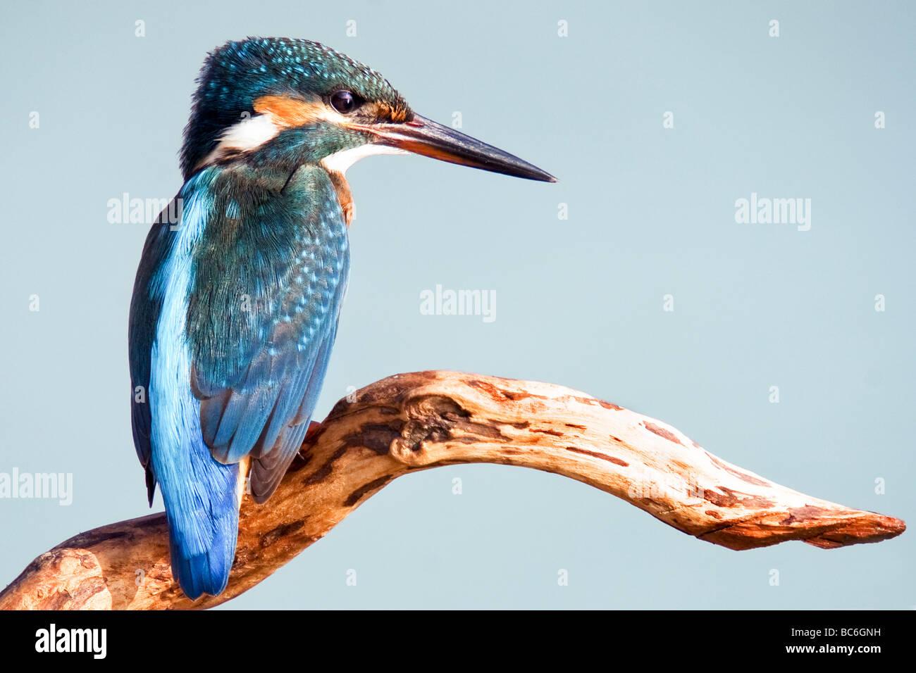 Common Kingfisher [alcedo atthis] - Stock Image