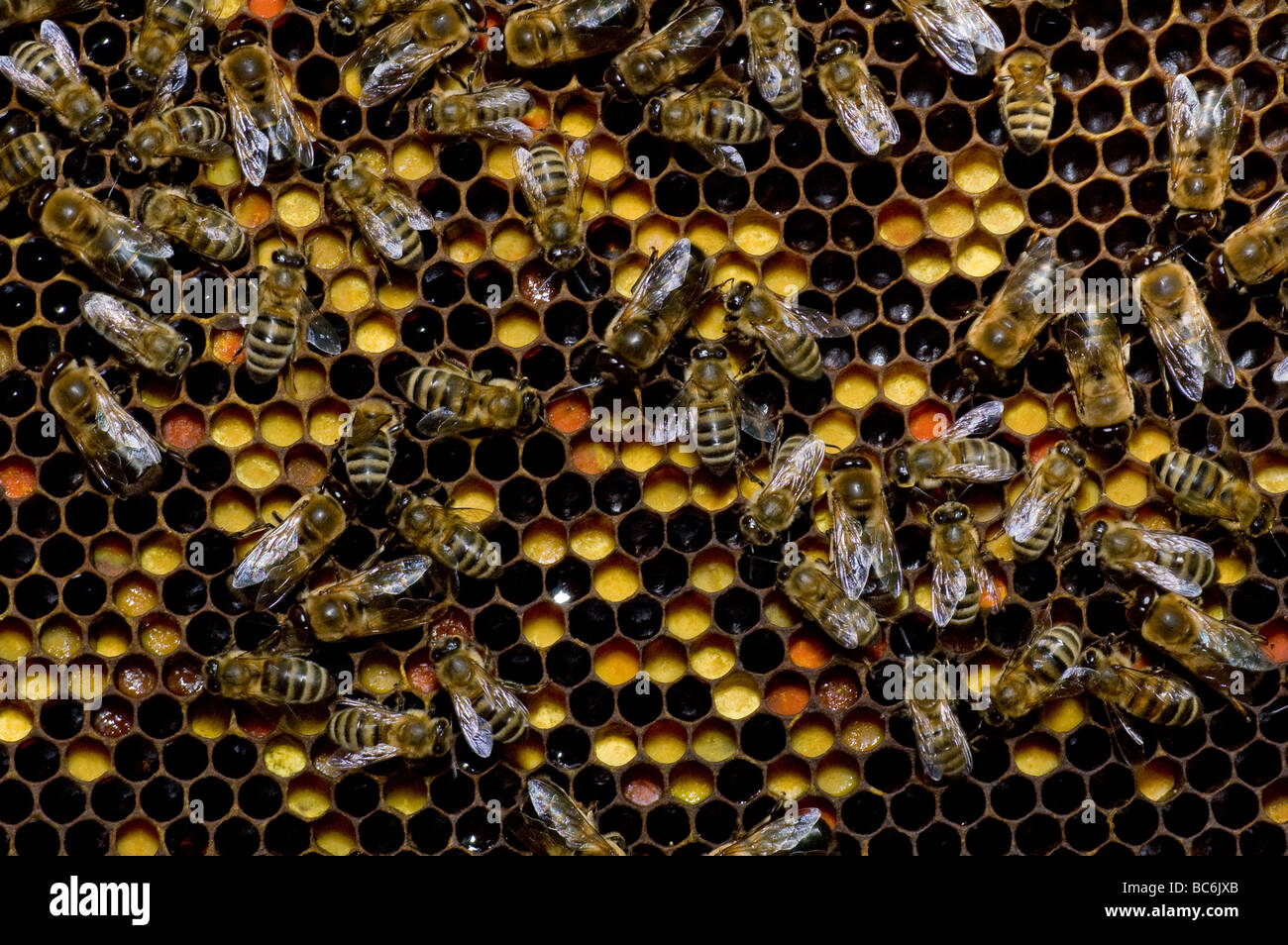 Many bees working on honeycombs full of honey and pollen - Stock Image