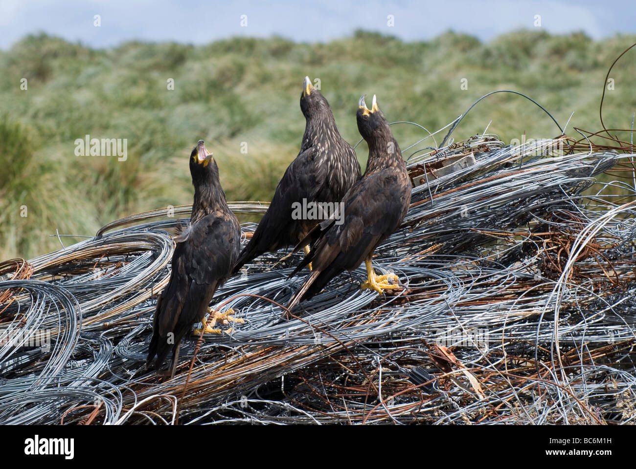 Striated Caracara, Phalcoboenus australis, calling together . Also known as a Johnny Rook Stock Photo