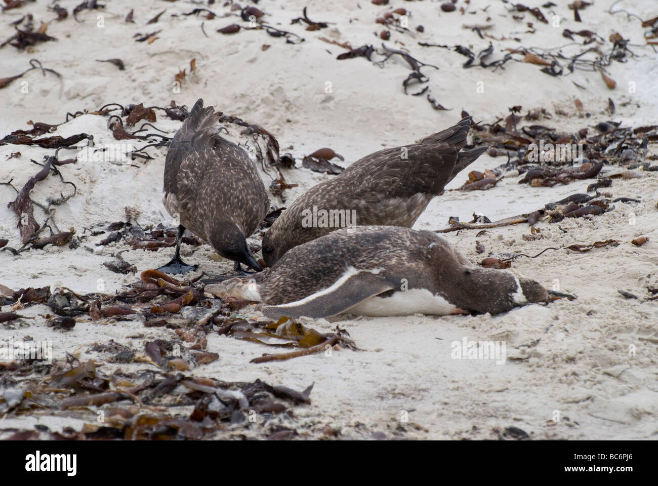 Falkland Skuas, Catharacta antarctica, also known as Brown Skua and Antarctic Skua. Adults are feeding on a dead - Stock Image