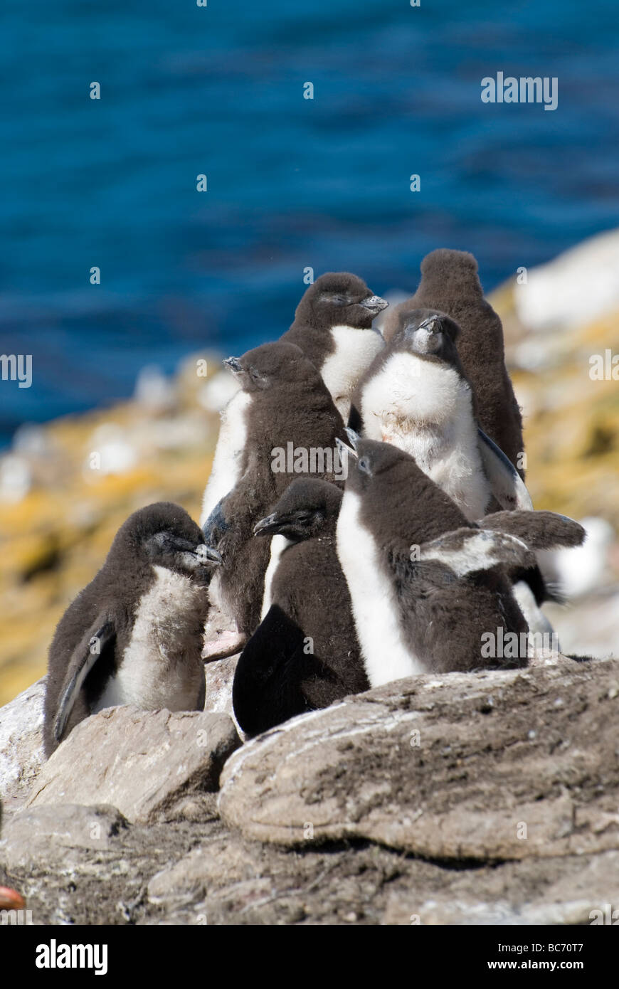 Southern Rockhopper Penguin chicks, Eudyptes chrysocome. Also known as Imperial Shag, King Cormorant, King Shag - Stock Image