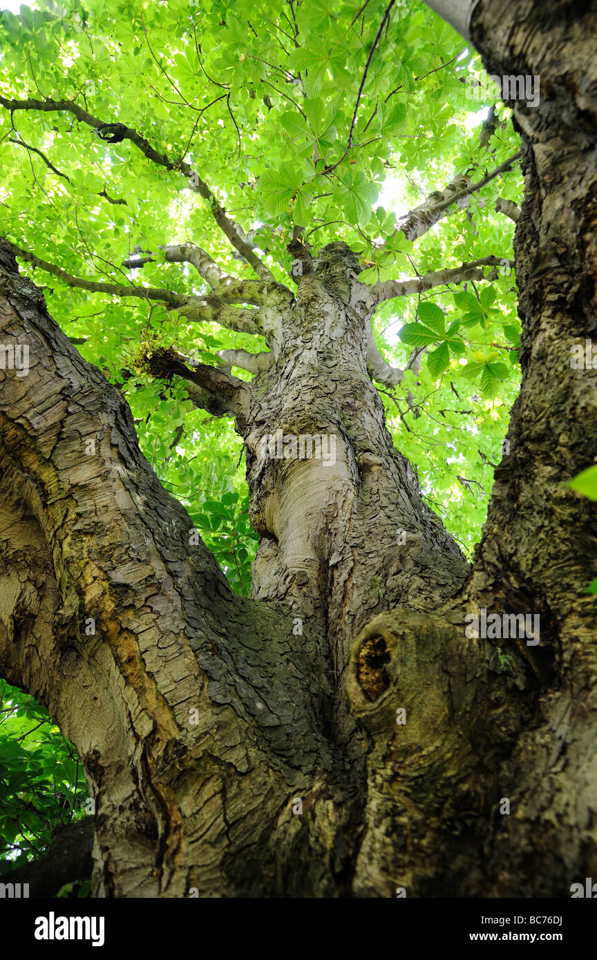 Looking up a horse chestnut  (Aesculus Hippocastanum) tree, showing leaves and distinctive bark Stock Photo