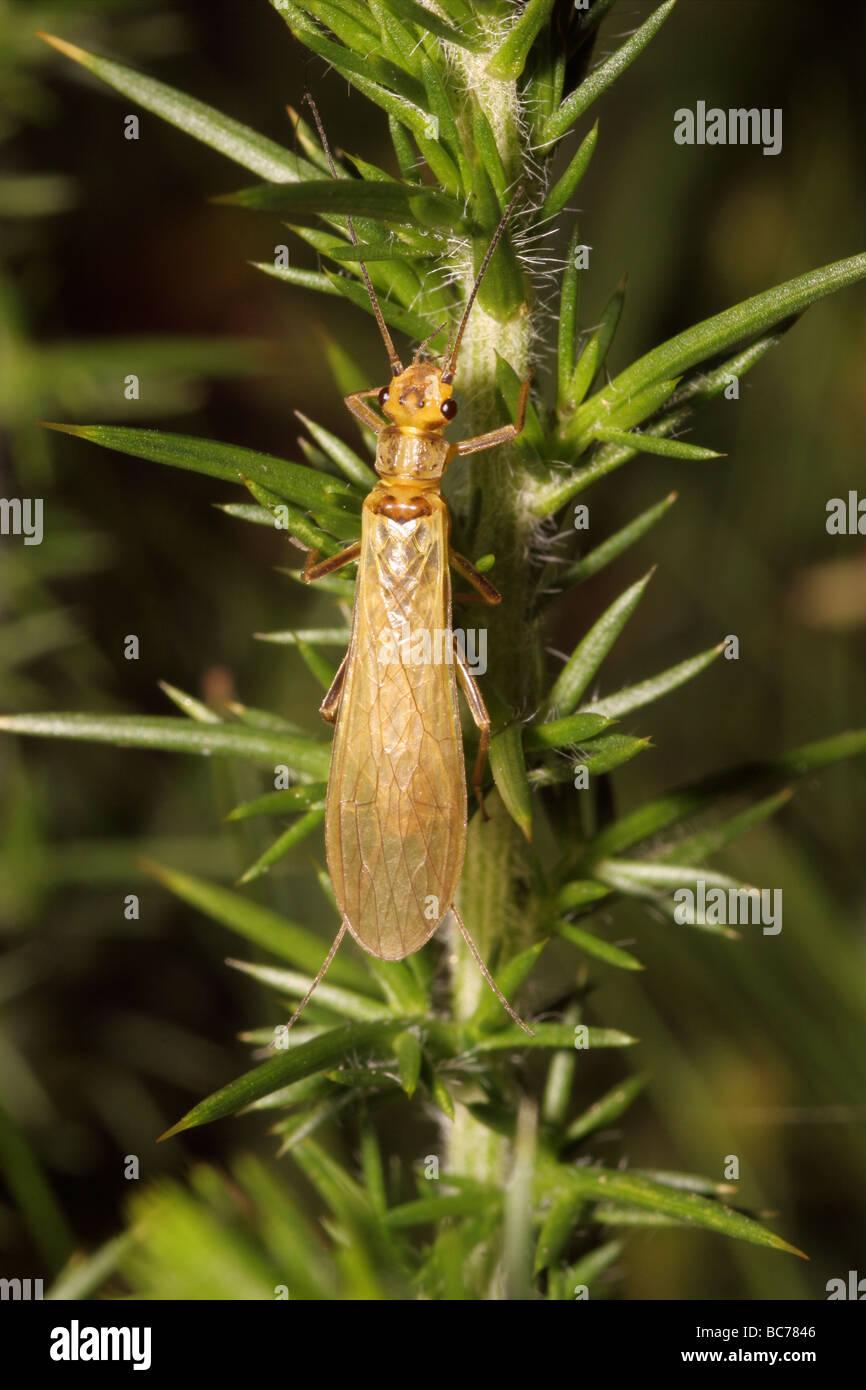 Small yellow sally stonefly Chloroperla torrentium Chloroperlidae beside a fast flowing stream UK - Stock Image
