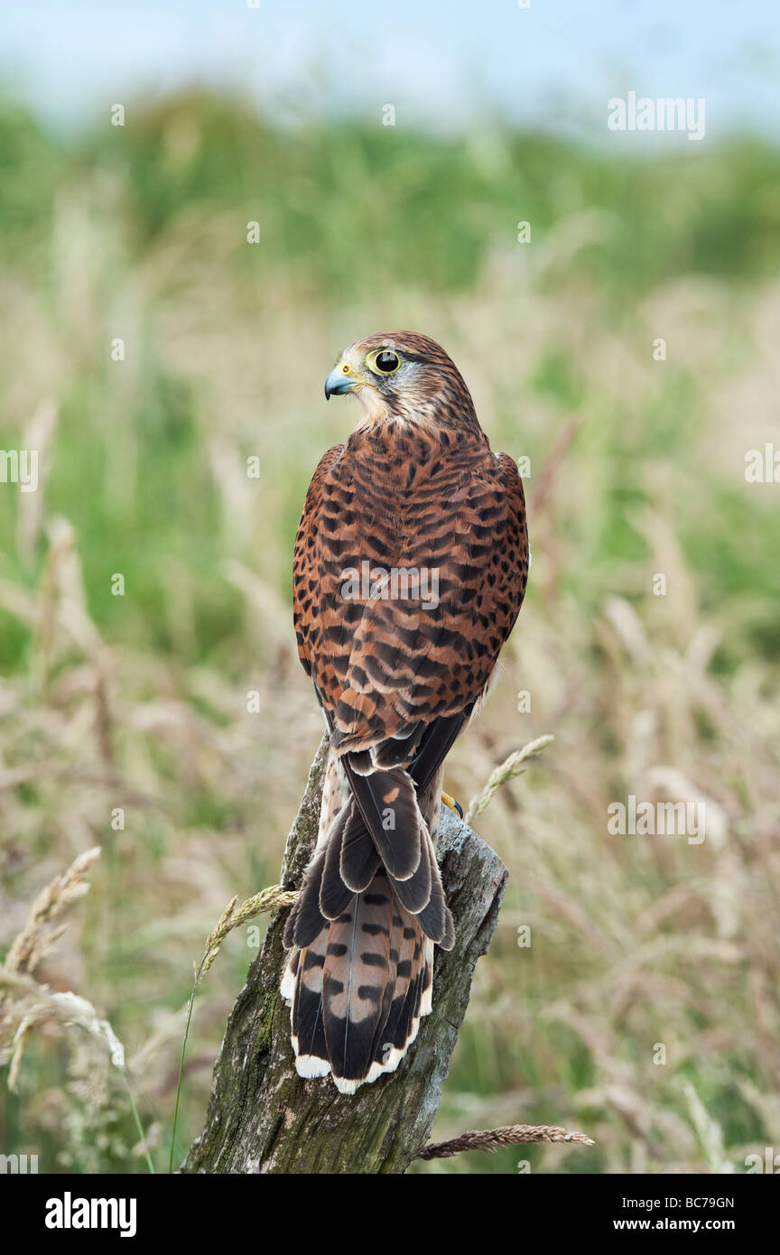 Falco tinnunculus,. Kestrel on a wooden post in the english countryside - Stock Image