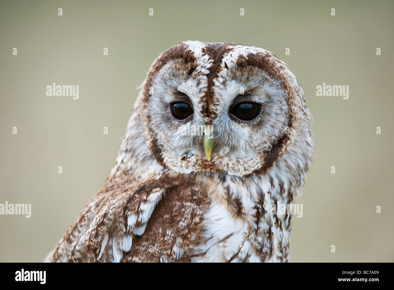 Strix aluco. Tawny owl in the english countryside - Stock Image