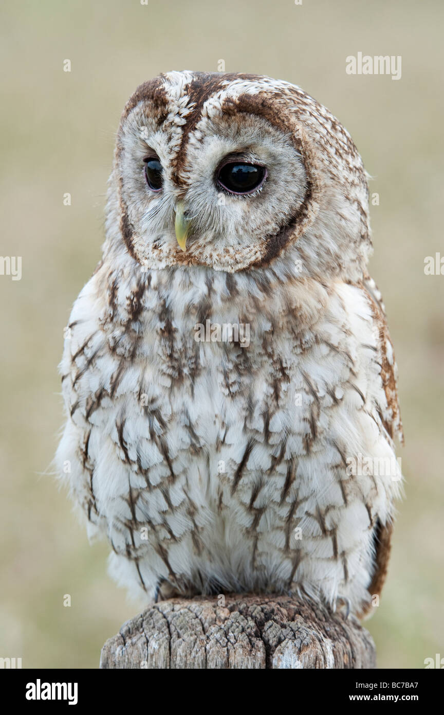 Strix aluco. Tawny owl on a wooden sign post in the english countryside - Stock Image